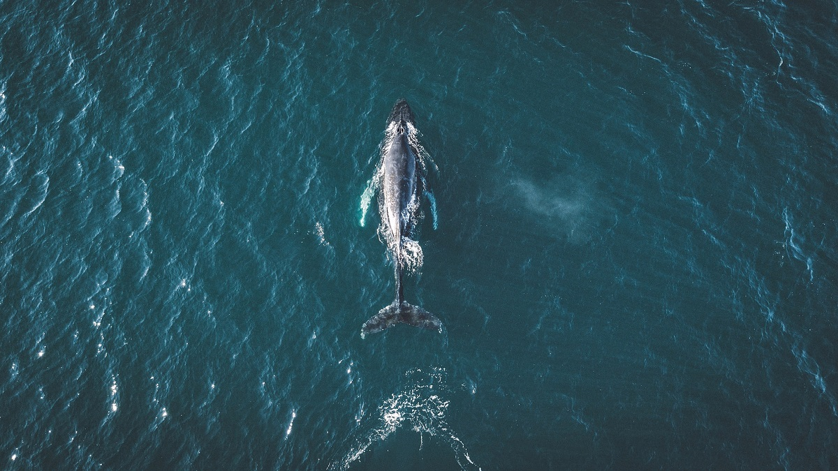 кит морской Once in life you have to see whales in person. Iceland is the perfect place for that.